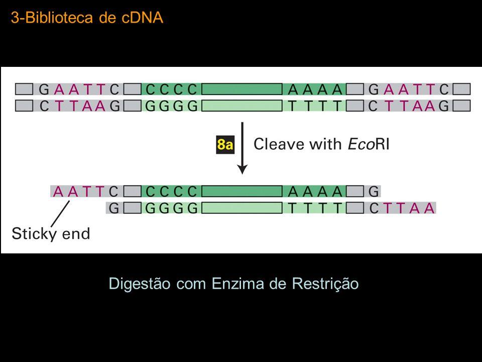 3-Biblioteca de cDNA Digestão com Enzima de Restrição