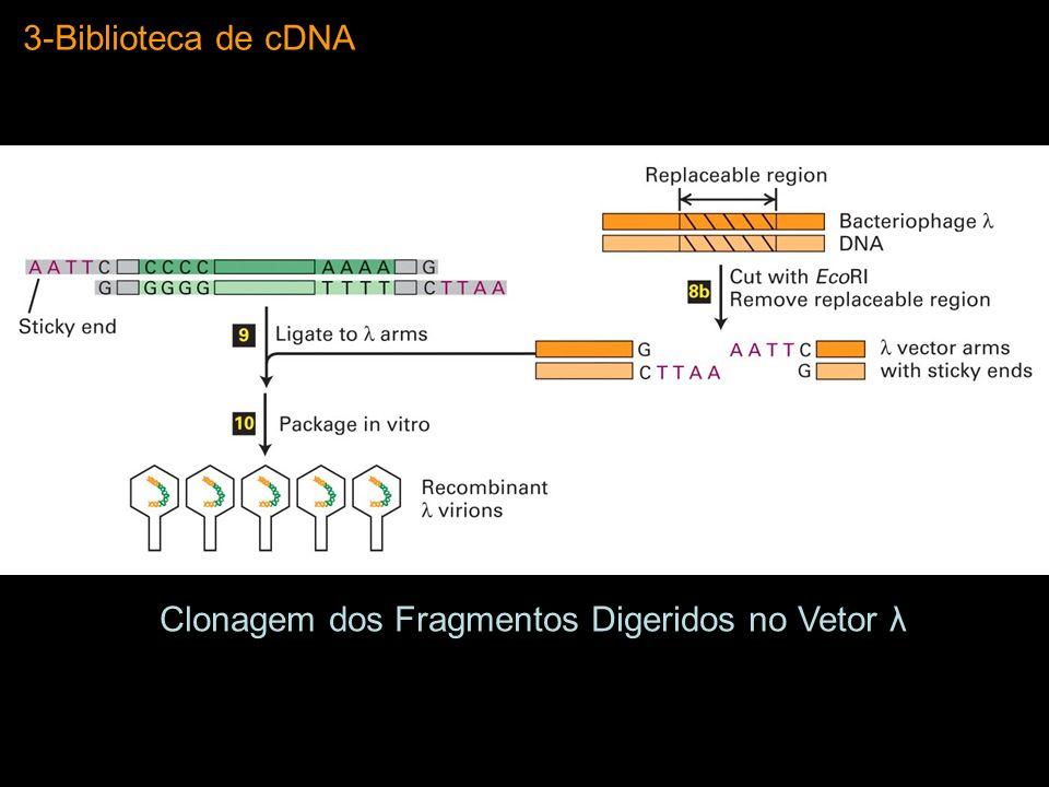 3-Biblioteca de cDNA Clonagem dos Fragmentos Digeridos no Vetor λ