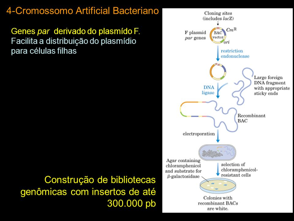 4-Cromossomo Artificial Bacteriano Genes par derivado do plasmído F. Facilita a distribuição do plasmídio para células filhas Construção de biblioteca