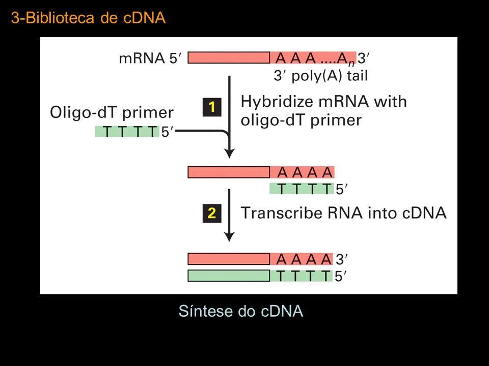 3-Biblioteca de cDNA Síntese do cDNA