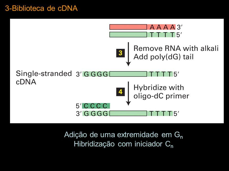 3-Biblioteca de cDNA Adição de uma extremidade em G n Hibridização com iniciador C n