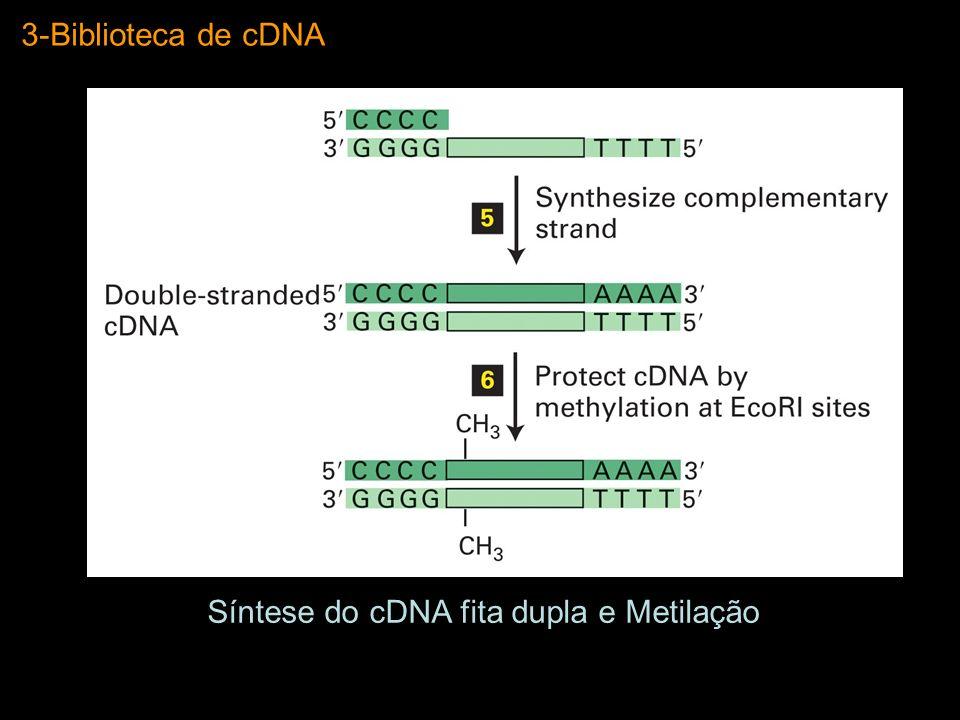 3-Biblioteca de cDNA Adição de Adaptadores com Sítio de Restrição