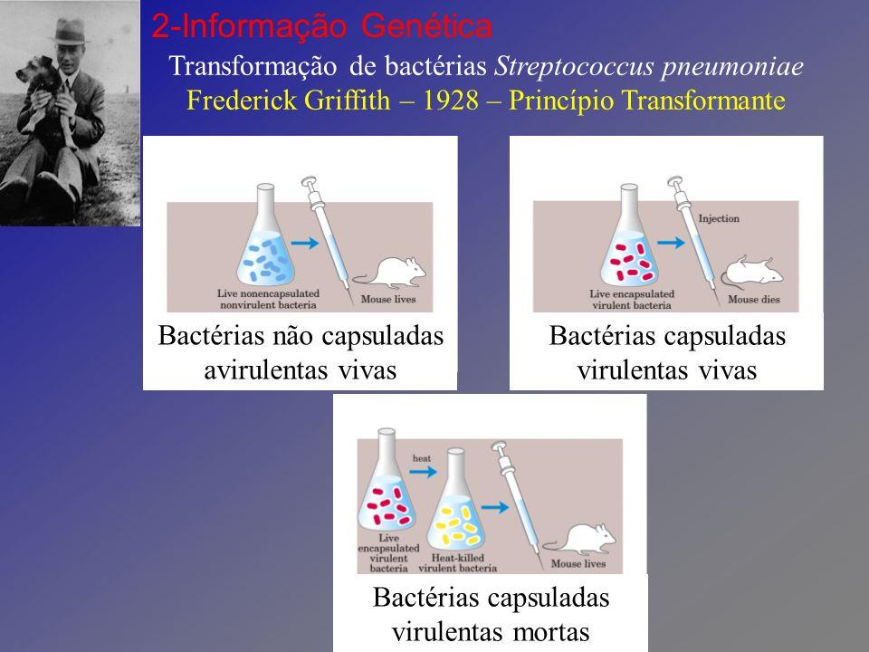 Transformação de bactérias Streptococcus pneumoniae Frederick Griffith – 1928 – Princípio Transformante 2-Informação Genética Bactérias capsuladas virulentas mortas Bactérias não capsuladas avirulentas vivas