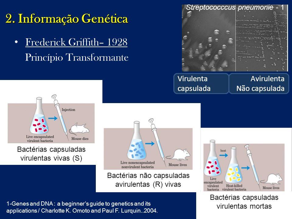 2. Informação Genética Frederick Griffith– 1928 Princípio Transformante Bactérias capsuladas virulentas vivas (S) Bactérias capsuladas virulentas mort