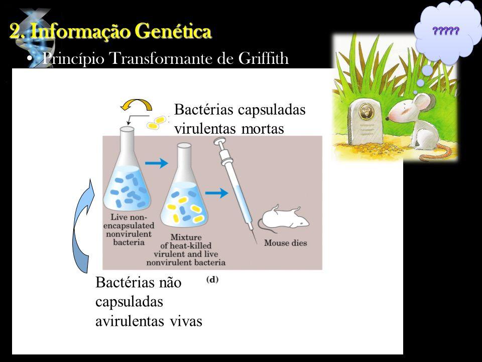 Bactérias capsuladas virulentas mortas Bactérias não capsuladas avirulentas vivas 2. Informação Genética Princípio Transformante de Griffith