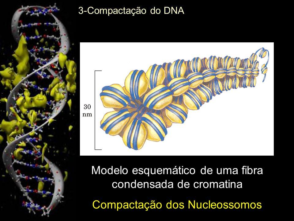 Modelo esquemático de uma fibra condensada de cromatina Compactação dos Nucleossomos 3-Compactação do DNA