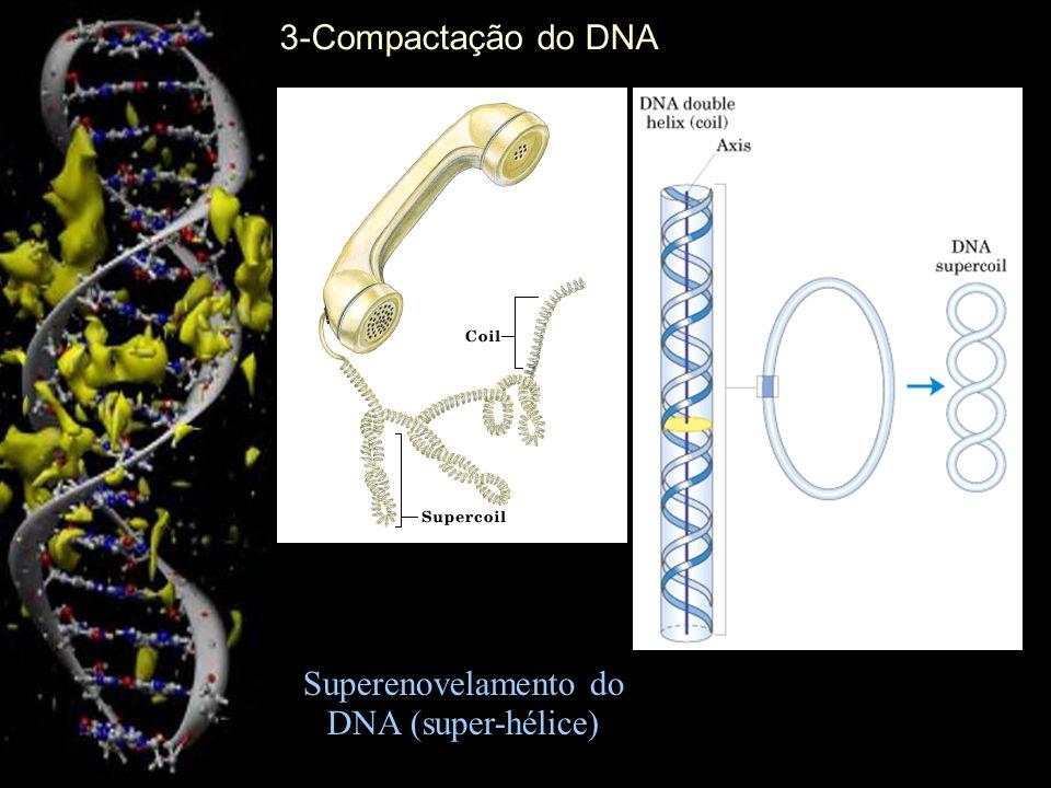 Cromossomo eucariótico Uma única molécula de DNA dupla-fita 3-Compactação do DNA