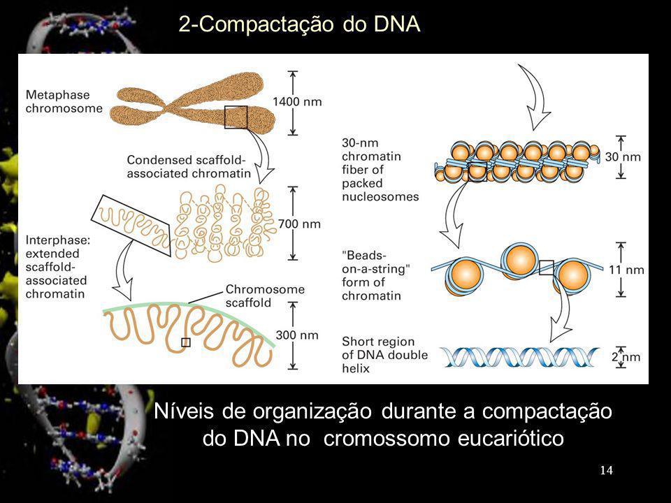 Níveis de organização durante a compactação do DNA no cromossomo eucariótico 2-Compactação do DNA 14