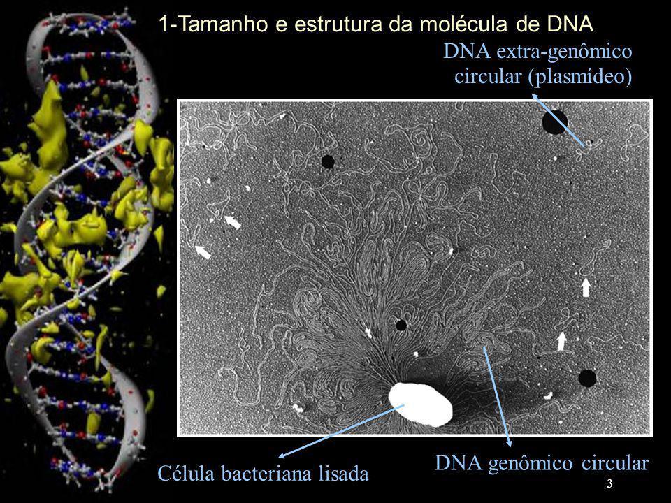 Célula bacteriana lisada DNA genômico circular DNA extra-genômico circular (plasmídeo) 1-Tamanho e estrutura da molécula de DNA 3