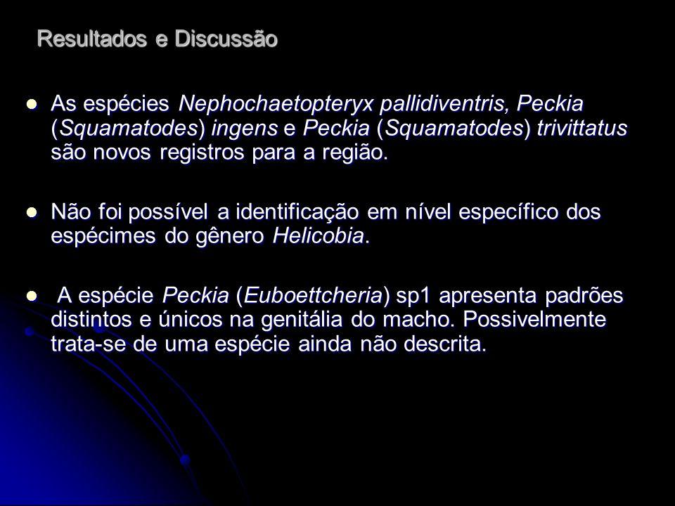 Resultados e Discussão As espécies Nephochaetopteryx pallidiventris, Peckia (Squamatodes) ingens e Peckia (Squamatodes) trivittatus são novos registro