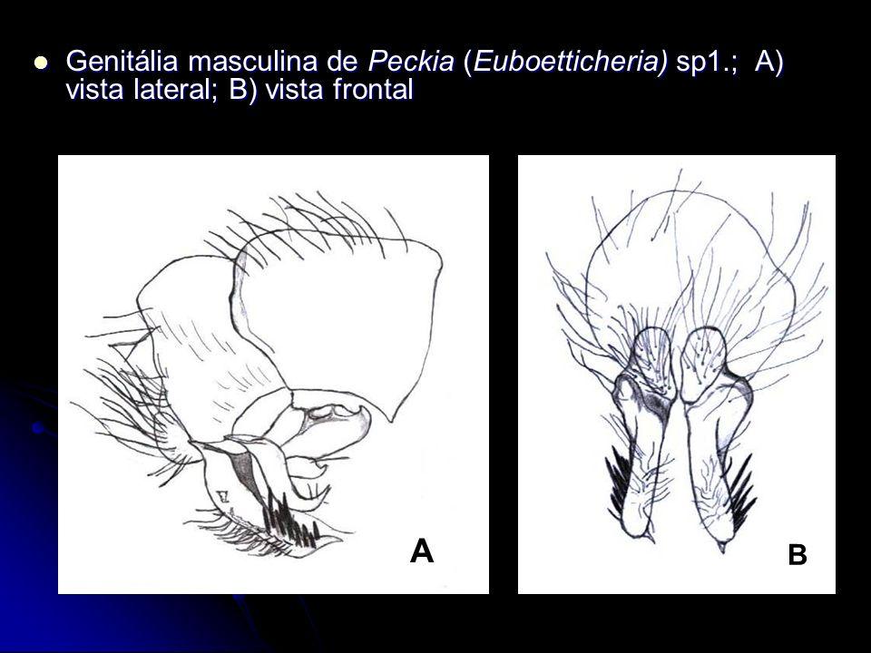 Genitália masculina de Peckia (Euboetticheria) sp1.; A) vista lateral; B) vista frontal Genitália masculina de Peckia (Euboetticheria) sp1.; A) vista