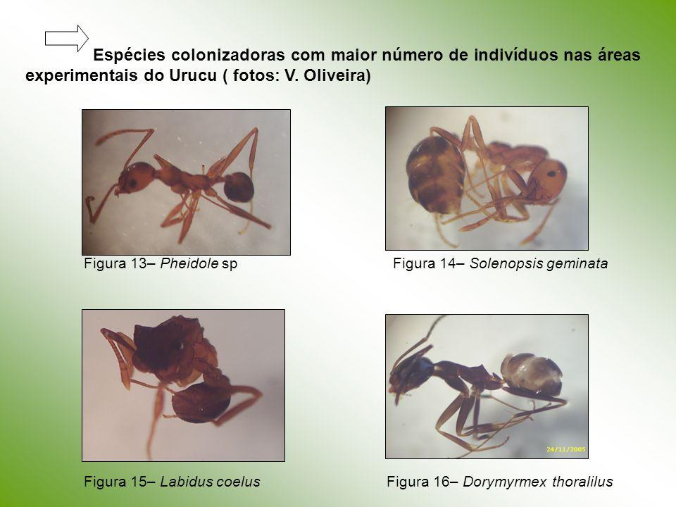 Espécies colonizadoras com maior número de indivíduos nas áreas experimentais do Urucu ( fotos: V. Oliveira) Figura 13– Pheidole spFigura 14– Solenops