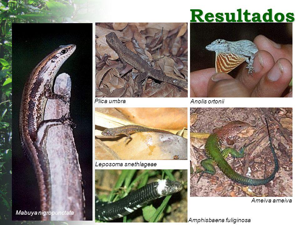 Resultados Anolis ortonii Plica umbra Leposoma snethlageae Ameiva ameiva Amphisbaena fuliginosa Mabuya nigropunctata
