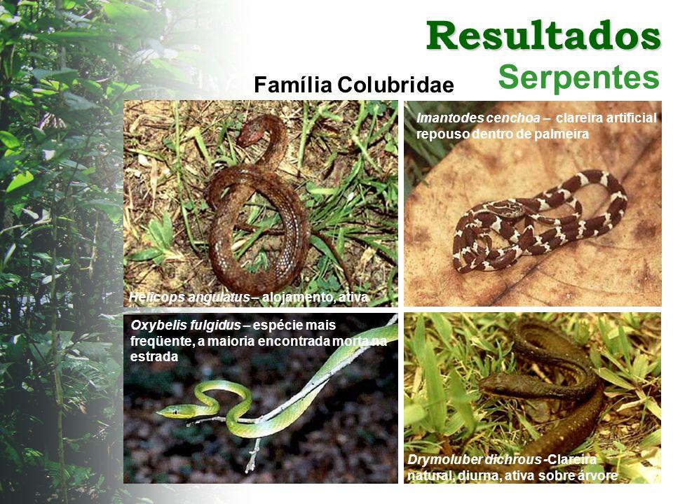 Resultados Serpentes Helicops angulatus – alojamento, ativa Imantodes cenchoa – clareira artificial repouso dentro de palmeira Família Colubridae Oxyb