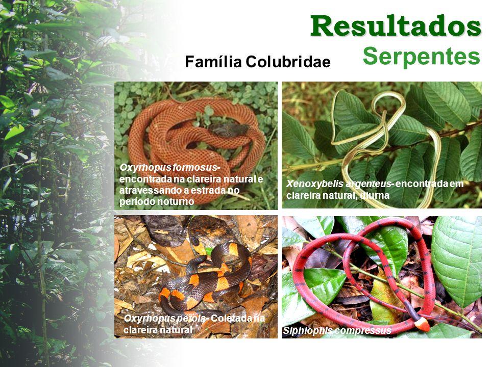 Resultados Serpentes Xenoxybelis argenteus- encontrada em clareira natural, diurna Oxyrhopus formosus- encontrada na clareira natural e atravessando a