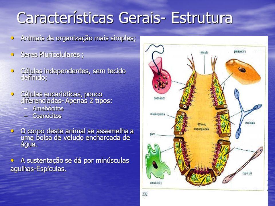 Características Gerais- Estrutura Animais de organização mais simples; Animais de organização mais simples; Seres Pluricelulares ; Seres Pluricelulare