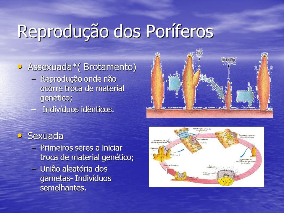 Reprodução dos Poríferos Assexuada*( Brotamento) Assexuada*( Brotamento) –Reprodução onde não ocorre troca de material genético; – Indivíduos idêntico