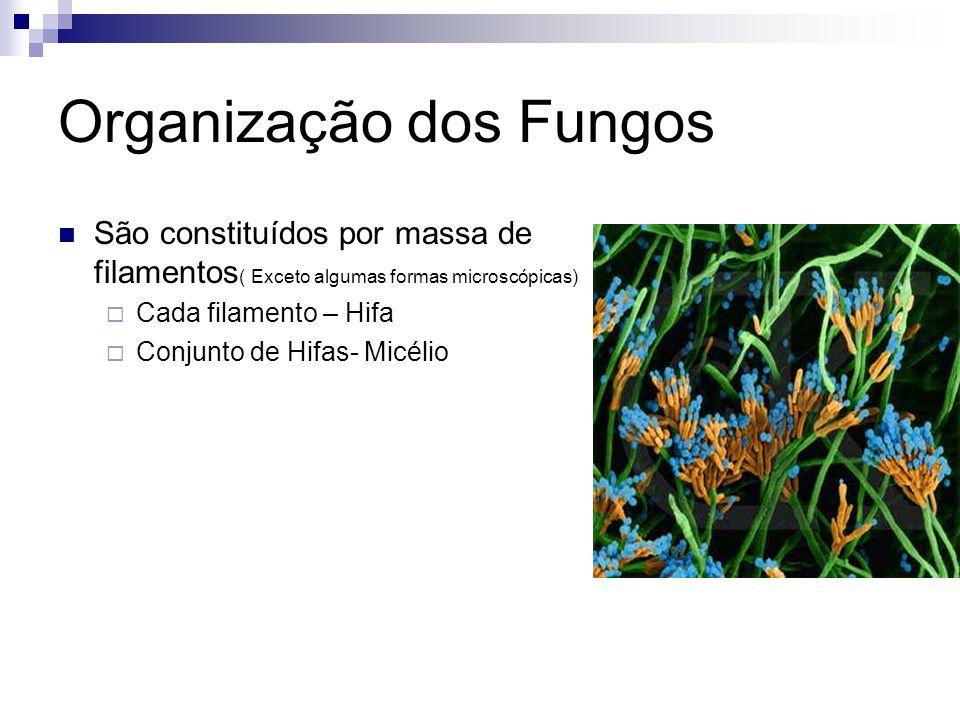 Organização dos Fungos São constituídos por massa de filamentos ( Exceto algumas formas microscópicas) Cada filamento – Hifa Conjunto de Hifas- Micéli