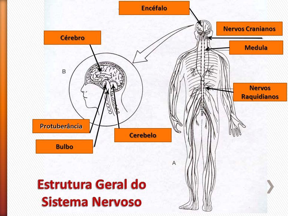 Cérebro Cerebelo Bulbo Protuberância Encéfalo Nervos Cranianos Medula Nervos Raquidianos