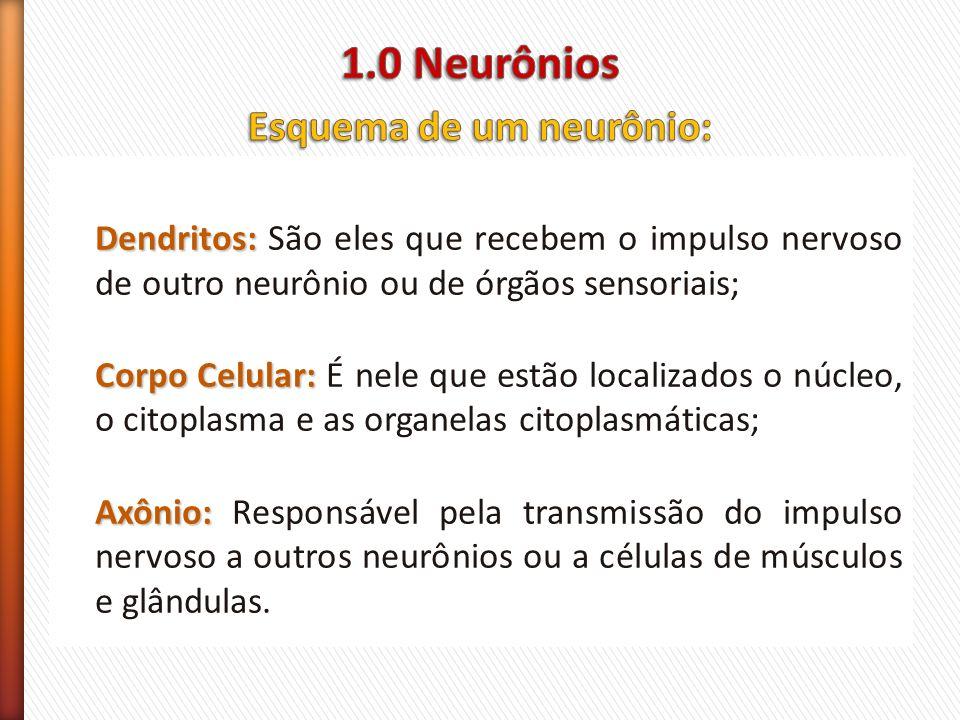 Dendritos: Dendritos: São eles que recebem o impulso nervoso de outro neurônio ou de órgãos sensoriais; Corpo Celular: Corpo Celular: É nele que estão