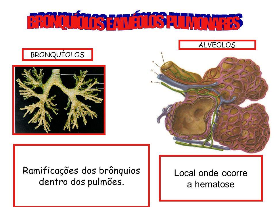 Ramificações dos brônquios dentro dos pulmões. Local onde ocorre a hematose BRONQUÍOLOS ALVÉOLOS