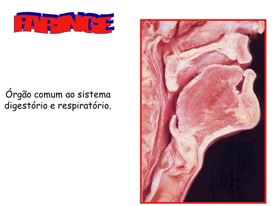 *Laringe – encontramos as cordas vocais.