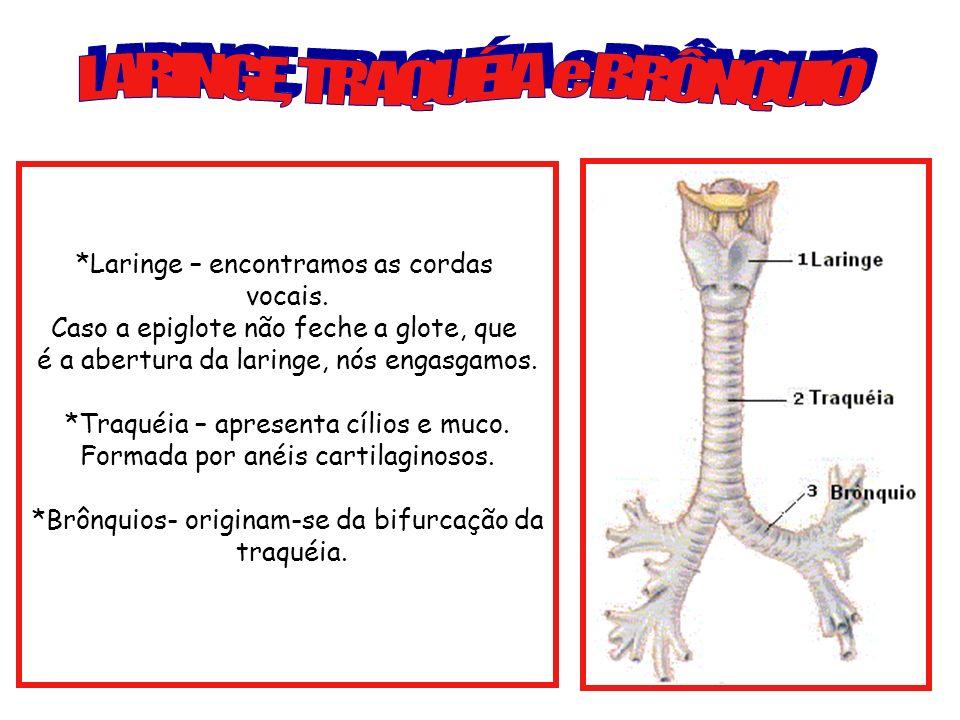 *Laringe – encontramos as cordas vocais. Caso a epiglote não feche a glote, que é a abertura da laringe, nós engasgamos. *Traquéia – apresenta cílios