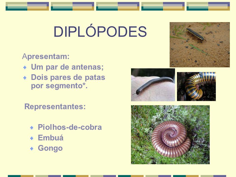 DIPLÓPODES Apresentam: Um par de antenas; Dois pares de patas por segmento*.