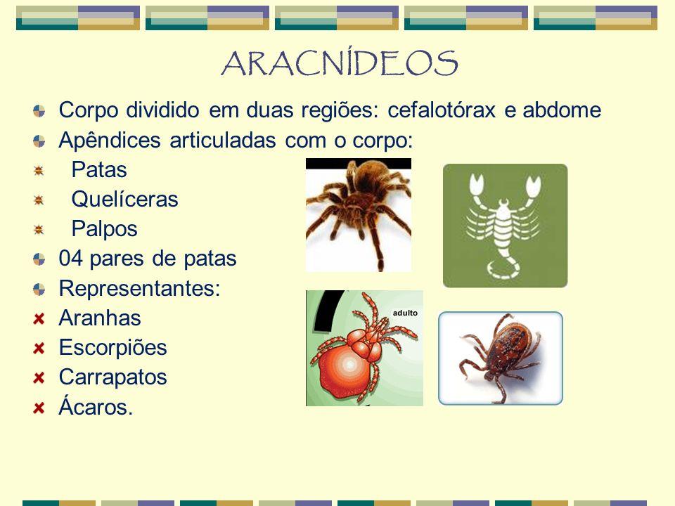 ARACNÍDEOS Corpo dividido em duas regiões: cefalotórax e abdome Apêndices articuladas com o corpo: Patas Quelíceras Palpos 04 pares de patas Representantes: Aranhas Escorpiões Carrapatos Ácaros.