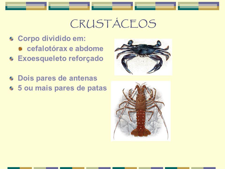 CRUSTÁCEOS Corpo dividido em: cefalotórax e abdome Exoesqueleto reforçado Dois pares de antenas 5 ou mais pares de patas
