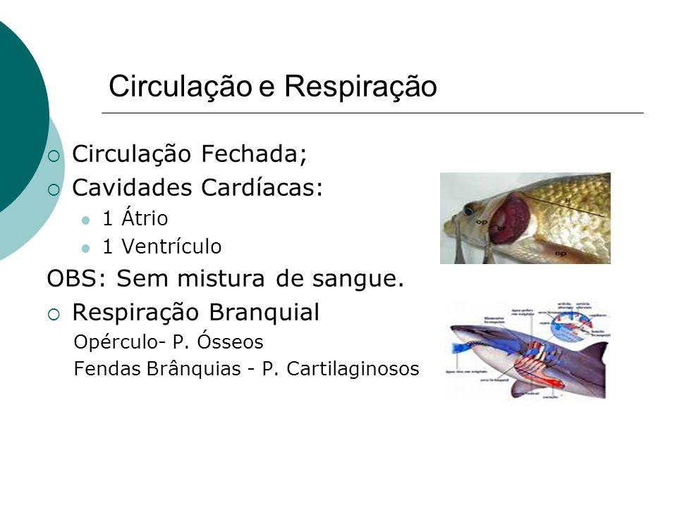 Circulação e Respiração Circulação Fechada; Cavidades Cardíacas: 1 Átrio 1 Ventrículo OBS: Sem mistura de sangue. Respiração Branquial Opérculo- P. Ós