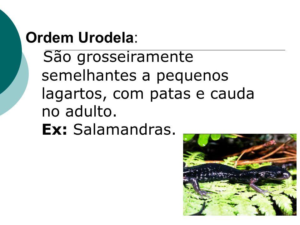 Ordem Urodela: São grosseiramente semelhantes a pequenos lagartos, com patas e cauda no adulto. Ex: Salamandras.