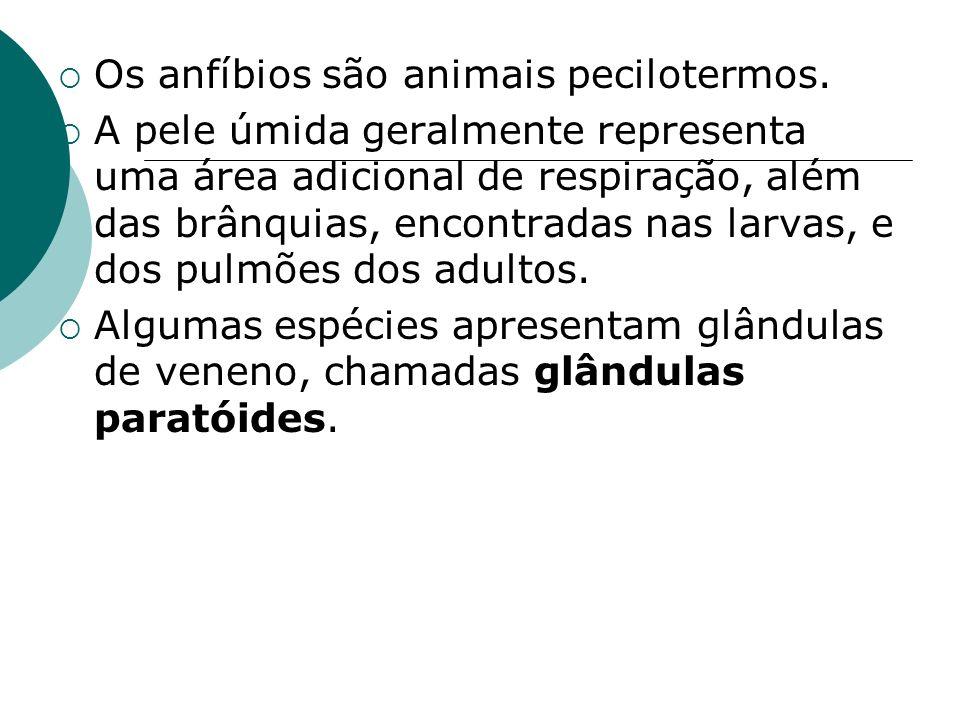 Os anfíbios são animais pecilotermos. A pele úmida geralmente representa uma área adicional de respiração, além das brânquias, encontradas nas larvas,