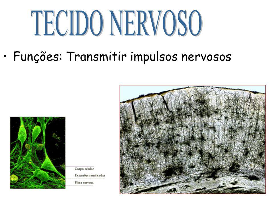 Funções: Transmitir impulsos nervosos