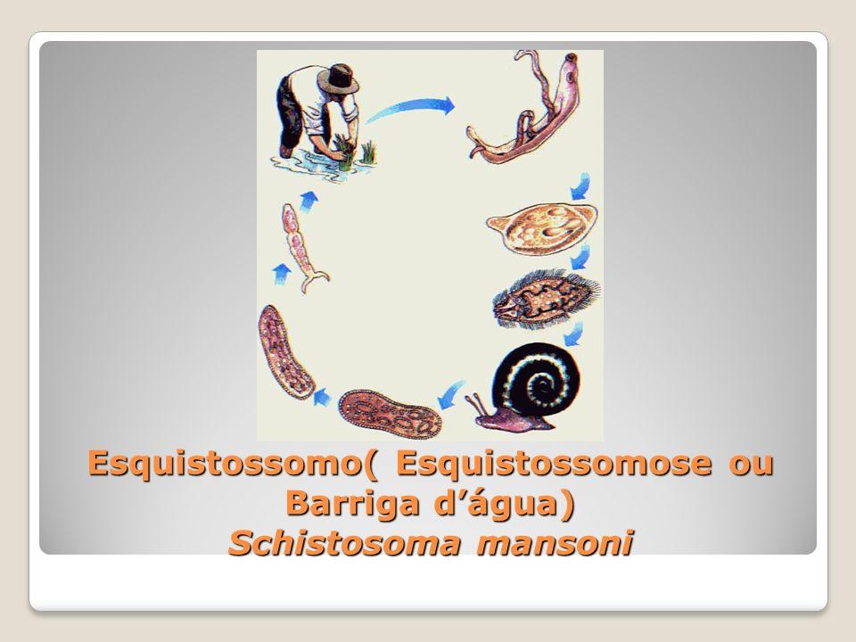 Esquistossomo( Esquistossomose ou Barriga dágua) Schistosoma mansoni