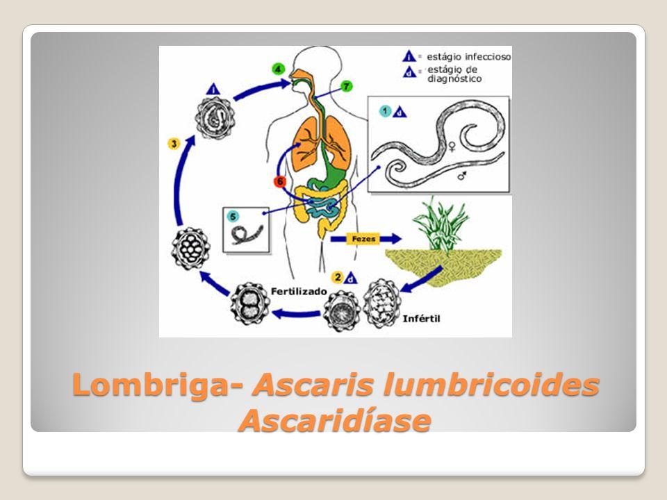 Lombriga- Ascaris lumbricoides Ascaridíase