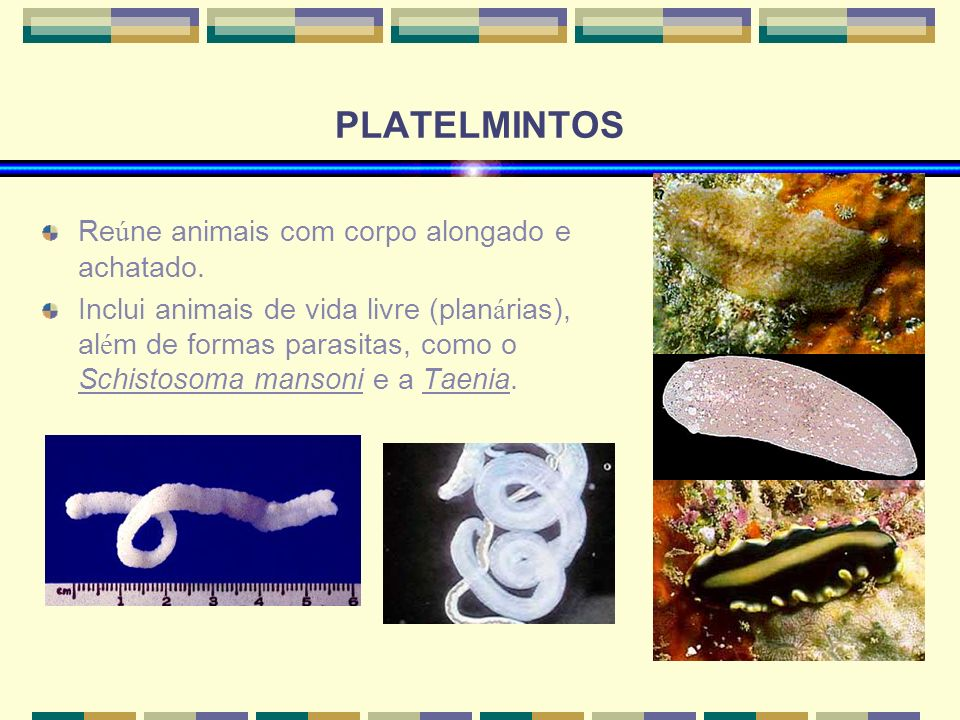 PLATELMINTOS Re ú ne animais com corpo alongado e achatado. Inclui animais de vida livre (plan á rias), al é m de formas parasitas, como o Schistosoma