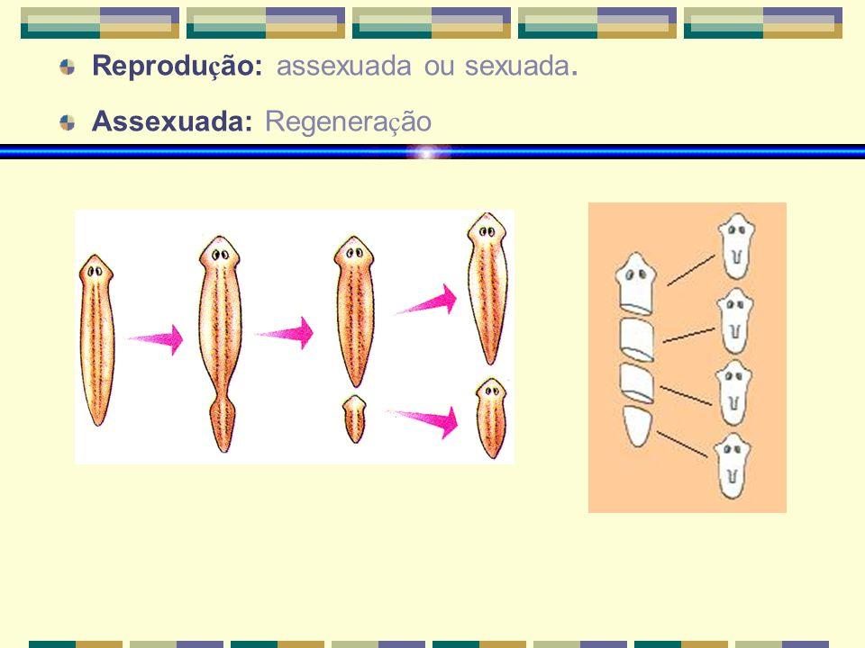 Reprodu ç ão: assexuada ou sexuada. Assexuada: Regenera ç ão