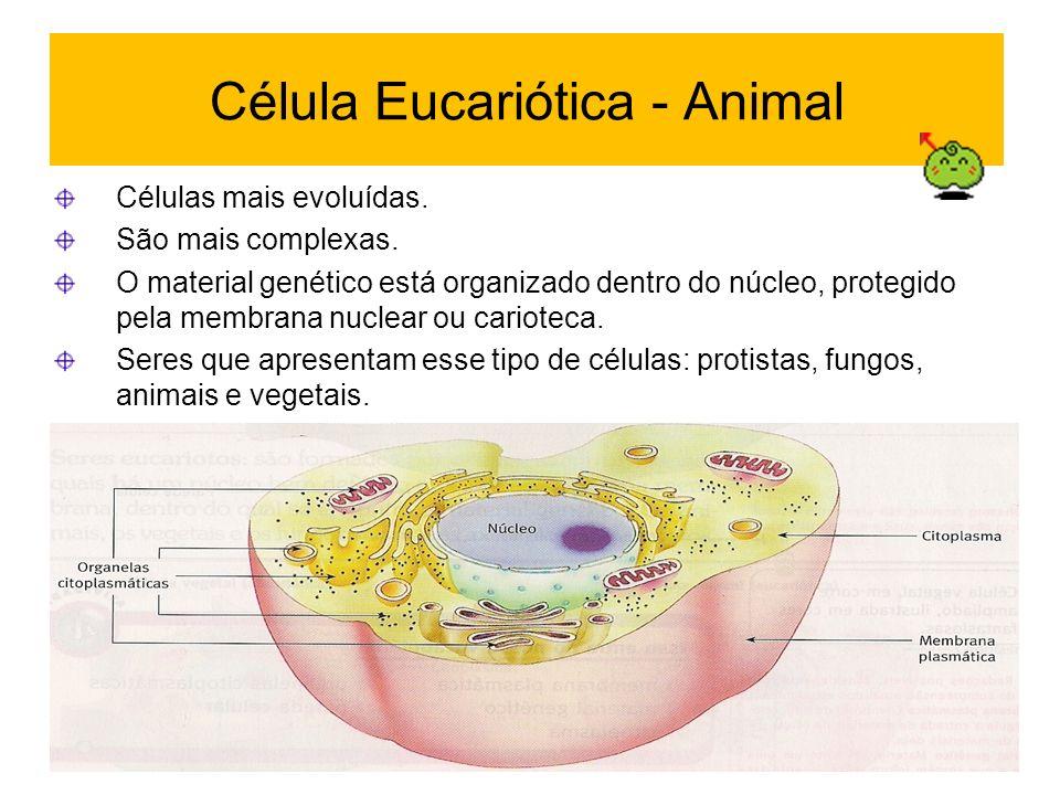 Célula Eucariótica - Animal Células mais evoluídas. São mais complexas. O material genético está organizado dentro do núcleo, protegido pela membrana