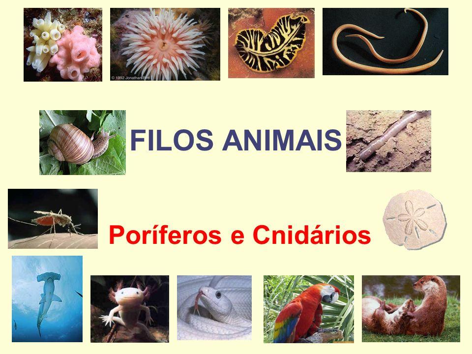 FILO PORIFERA Constitu í do pelas esponjas animais s é sseis (fixos) que vivem em ambiente aqu á tico.