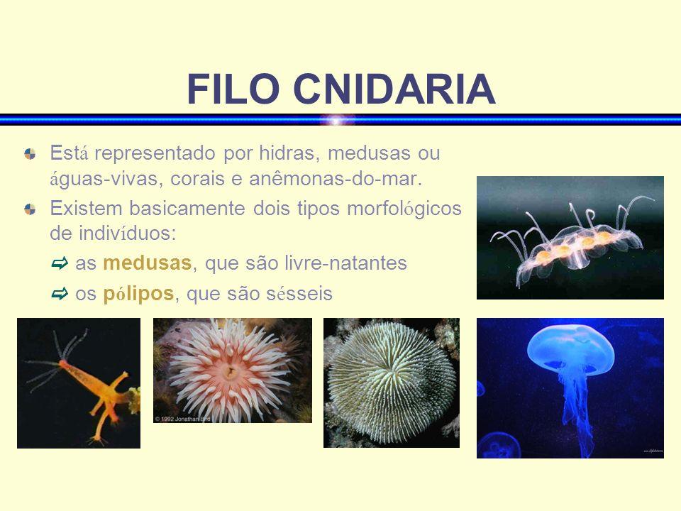 FILO CNIDARIA Est á representado por hidras, medusas ou á guas-vivas, corais e anêmonas-do-mar. Existem basicamente dois tipos morfol ó gicos de indiv
