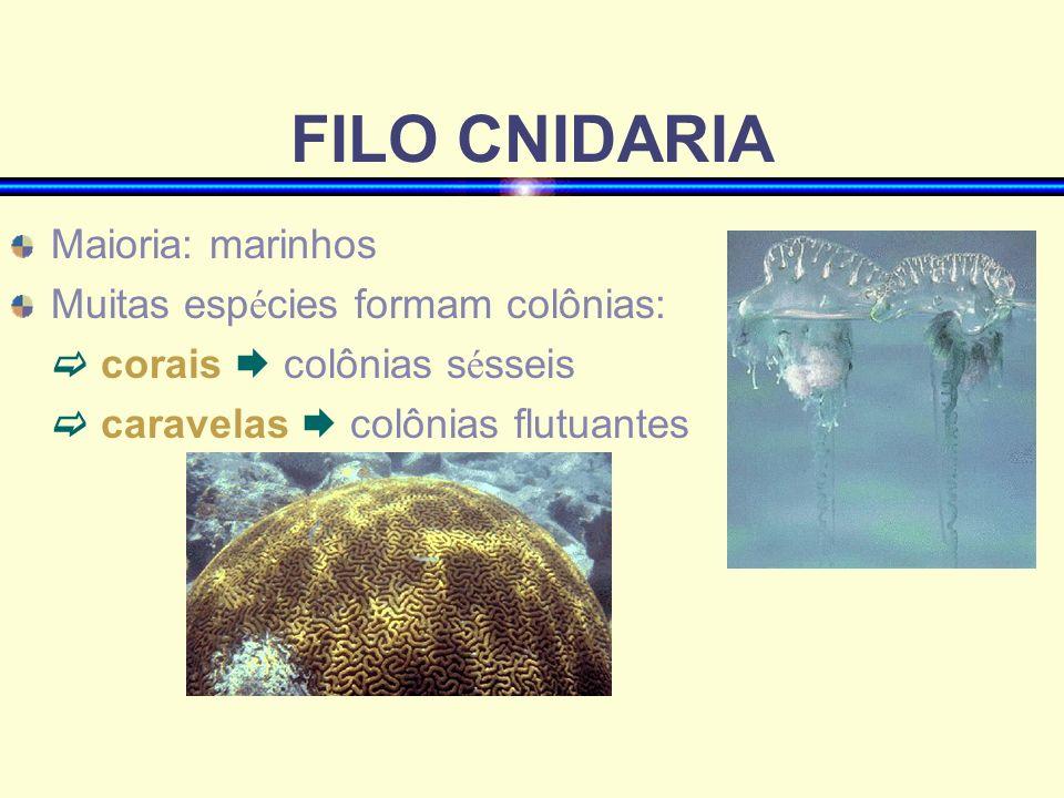 FILO CNIDARIA Maioria: marinhos Muitas esp é cies formam colônias: corais colônias s é sseis caravelas colônias flutuantes