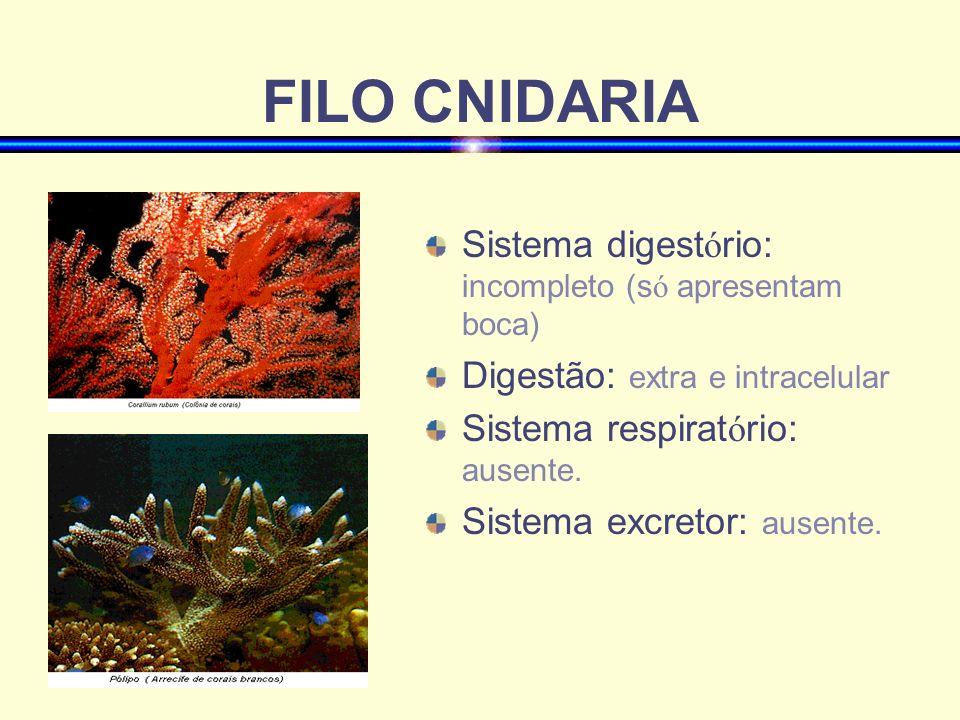 FILO CNIDARIA Sistema digest ó rio: incompleto (s ó apresentam boca) Digestão: extra e intracelular Sistema respirat ó rio: ausente. Sistema excretor: