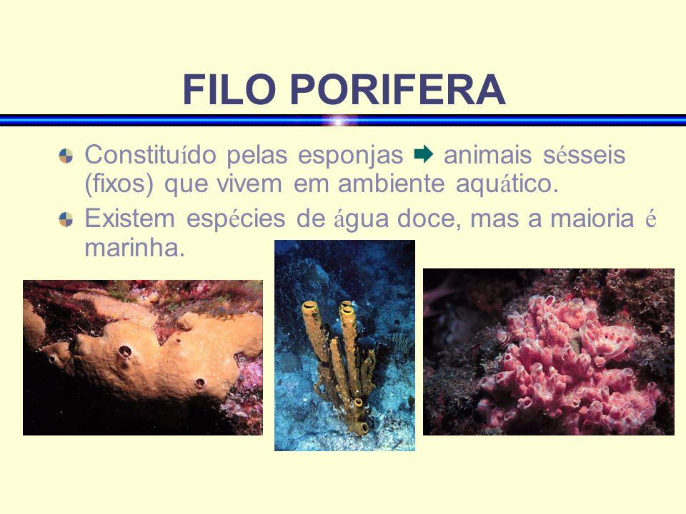 FILO PORIFERA Constitu í do pelas esponjas animais s é sseis (fixos) que vivem em ambiente aqu á tico. Existem esp é cies de á gua doce, mas a maioria