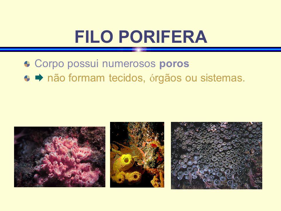 FILO PORIFERA Corpo possui numerosos poros não formam tecidos, ó rgãos ou sistemas.