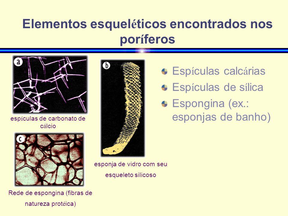 Elementos esquel é ticos encontrados nos por í feros Esp í culas calc á rias Esp í culas de s í lica Espongina (ex.: esponjas de banho) esp í culas de