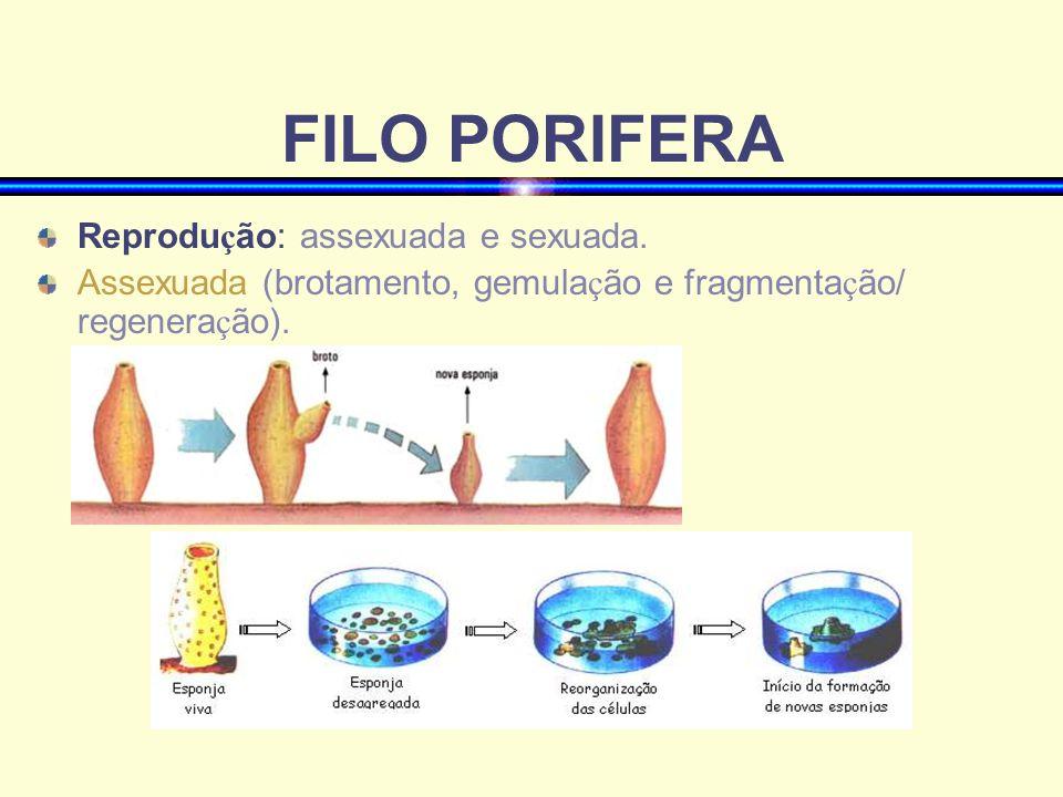 Deslocamento dos cnid á rios P ó lipos alguns são fixos e outros podem se deslocar (ex: hidra cambalhota)
