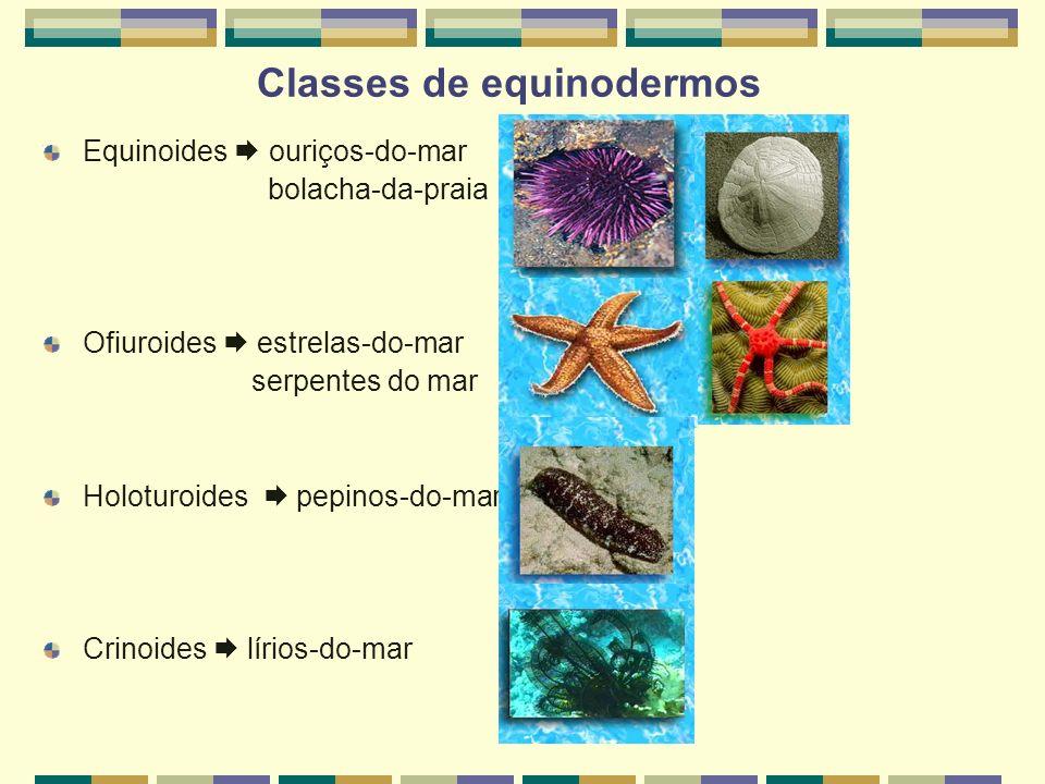 Classes de equinodermos Equinoides ouriços-do-mar bolacha-da-praia Ofiuroides estrelas-do-mar serpentes do mar Holoturoides pepinos-do-mar Crinoides l
