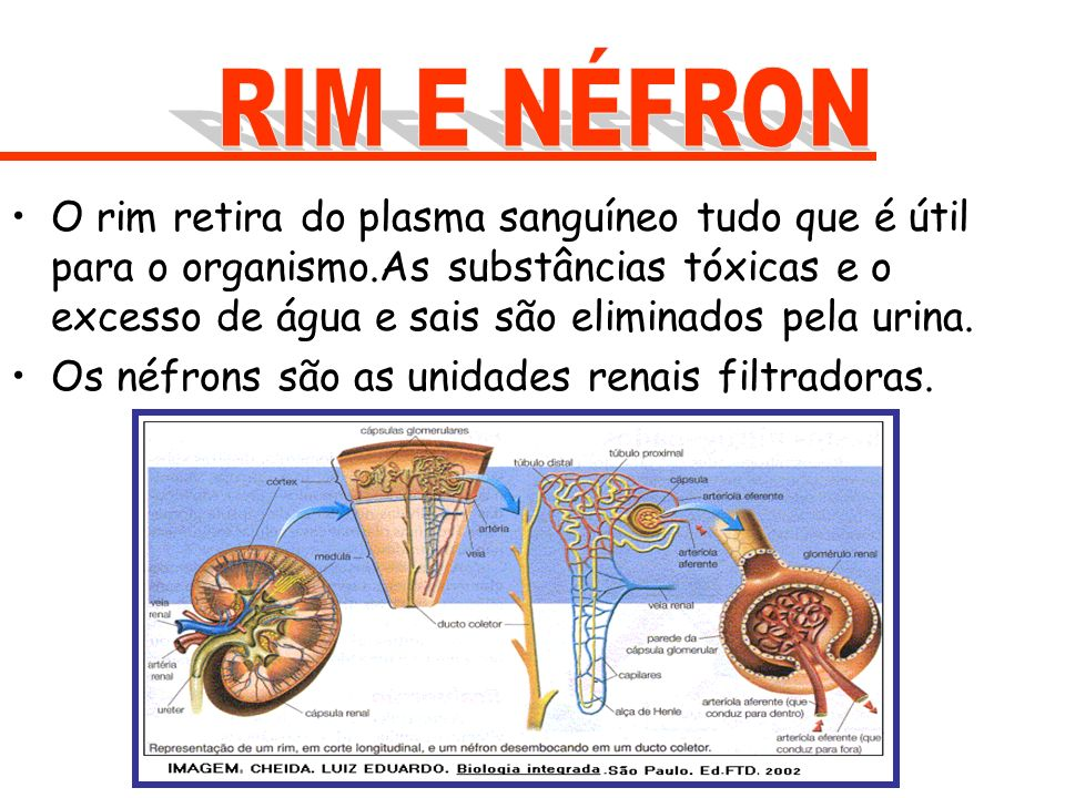 O rim retira do plasma sanguíneo tudo que é útil para o organismo.As substâncias tóxicas e o excesso de água e sais são eliminados pela urina. Os néfr
