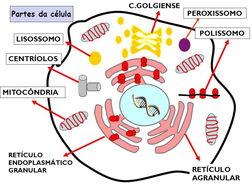 Partes da célula RETÍCULO ENDOPLASMÁTICO GRANULAR RETÍCULO AGRANULAR POLISSOMO MITOCÔNDRIA CENTRÍOLOS C.GOLGIENSE LISOSSOMO PEROXISSOMO